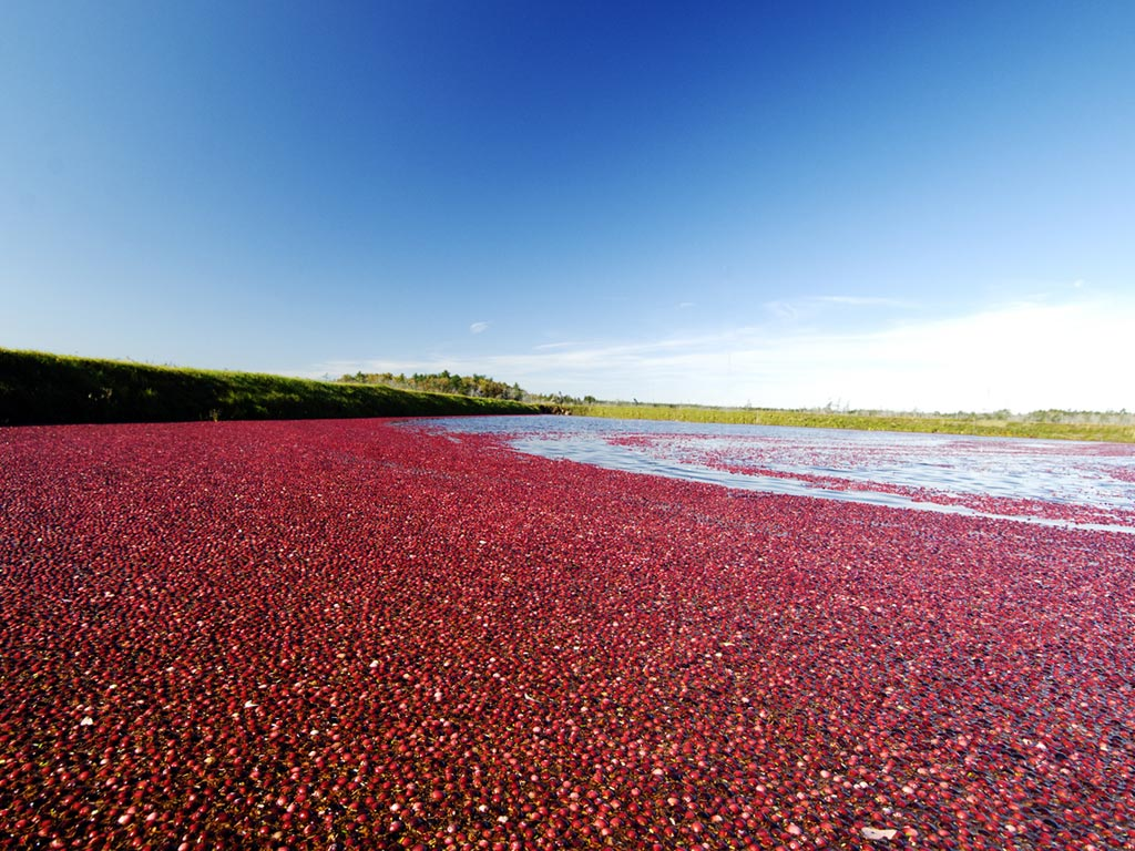 Cranberry Ocean Spray